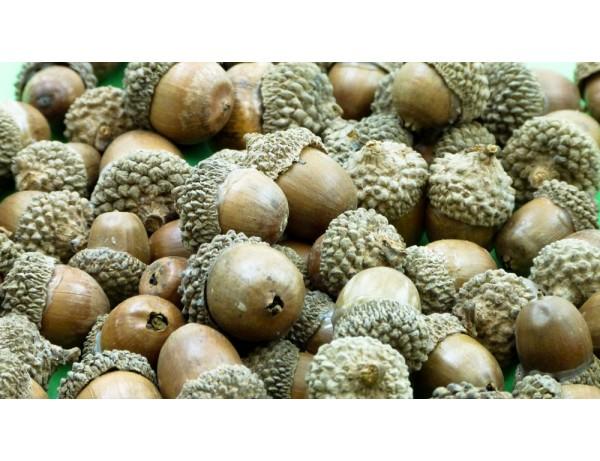 Acorns ( 150g)