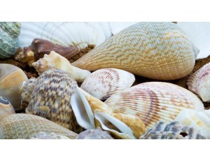 Small Shells Pack (500g)