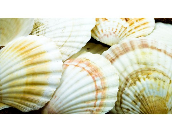 Scallops Large Pack