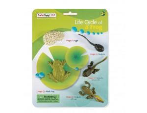 Life Cycle Frog