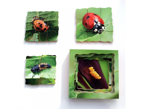 Layered Life Cycle - Ladybird